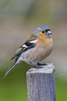 Chaffinch – colourful bird with patterned plumage. They have loud songs and varied calls and they eat insects and seeds.