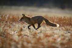 """run - running fox More pictures on my facebook Account: <a href=""""http://www.facebook.com/norlies1"""">Norbert Liesz facebook site</a> ."""
