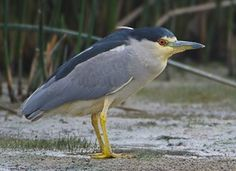 Learn how to identify Black-crowned Night-Heron, its life history, cool facts, sounds and calls, and watch videos. Black-crowned Night-Herons are stocky birds compared to many of their long-limbed heron relatives. They're most active at night or at dusk, when you may see their ghostly forms flapping out from daytime roosts to forage in wetlands. In the light of day adults are striking in gray-and-black plumage and long white head plumes. These social birds breed in colonies of stick nests…