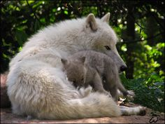 """johnnyslittleanimalblog: """" Dad and baby arctic wolf: love by woxys """""""