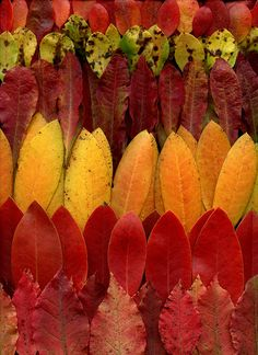 Rhododendron by Fred #Photography #Leaves #Horticultural_Art