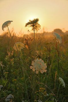 I think Queen Anne's Lace is beautiful