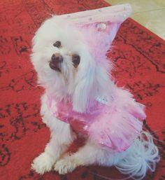 Princess Pumbah  #dogholloweencostume #teacupdog #multipoo #ourbaby @bbradley42