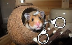 Most of us are familiar with the little creatures called hamsters, but if you live in a country where hamsters are not very popular, you may wonder why that is and whether you are allowed to own one where you live. Although hamsters are seen as very gentle and lovable animals, they are illegal in some countries. #hamsters #hamster #hamsterlove #hamsterlife #hamsterlover Hamster Life, Hamsters, Countries, Creatures, Popular, Live, Places, Animals, Animales
