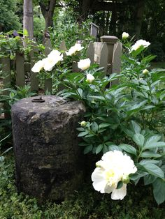 white peonies braced on old wood fence has nice contrast