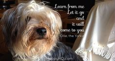 What Ollie Taught Me About Letting Go Yorkie, Letting Go, Let It Be, Teaching, Happy, Yorkies, Lets Go, Ser Feliz, Yorkshire Terrier