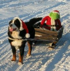 Loving the snow Cute Puppies, Cute Dogs, Dogs And Puppies, Bernese Mountain, Mountain Dogs, Bernice Mountain Dog, Animals And Pets, Cute Animals, Bernese Dog