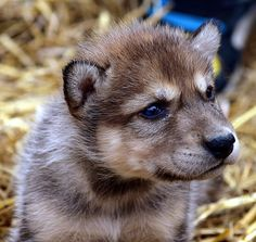 2012-04-12 Fur-Ever Wild-Wolf Cubs & other furry friend's 134