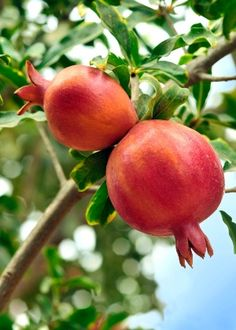 Plante romã, tenha fruta fresca e atraia a prosperidade durante todo o ano