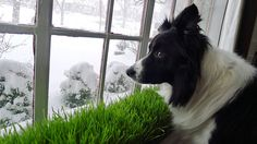 Tweed the dog looks on as the snow mounts.