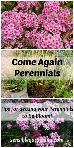 Come Again Perennials with Sensible Gardening. Tips to get your perennials to re-bloom! #gardeningtips