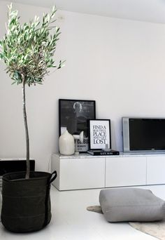 In love with olive trees as living room decoration