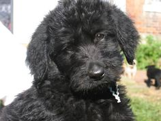 Oh. My. Gosh. I cannot describe how cute I think it is when dogs cock their heads. The dog in this picture is a black goldendoodle. I have a black goldendoodle, but mine has a lot curlier fur!!