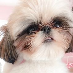 Shih Tzu... Ceili -- Don'cha just love their teeny tongues?