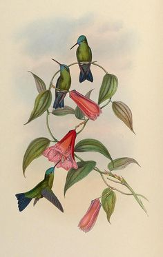 2-hummingbirds-unknown.jpg (569×900)