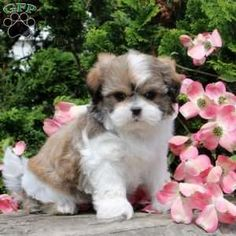 Mal-Shi puppies for sale! These fluffy, playful Mal-Shi puppies are a designer mixed breed. They are a cross between a Maltese and a Shih-Tzu. Cockapoo Puppies For Sale, Cute Baby Puppies, Teddy Bear Puppies, Teacup Puppies, Miniature Dog Breeds, Dog Breed Info, Greenfield Puppies, Rottweiler Dog, Yorkshire Terrier Puppies