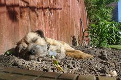 Border Terrier Napping in the Garden Boston Bull Terrier, Terrier Dogs, Best Dog Breeds, Best Dogs, Baby Puppies, Dogs And Puppies, Patterdale Terrier, Cute Borders, Parson Russell Terrier