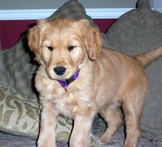 Dudley the Golden Lab