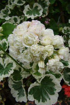 Geranium Plant, Hardy Geranium, Geranium Flower, Exotic Plants, Exotic Flowers, White Flowers, Beautiful Flowers, Patio Plants, House Plants