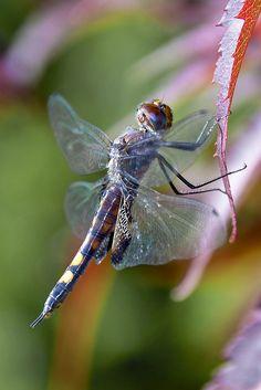 Black Saddlebags Dragonfly by Henrietta Oke**