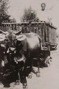 Contadino che trasporta prodotti agricoli con il carro trainato da buoi - 1940.
