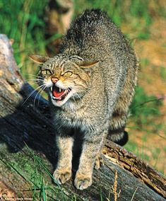 A Scottish wildcat. The creatures that live in the Highlands have largely been left to their own devices