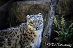 Animal photography! My photography! More on my facebook page www.facebook.com/nrphotography4 :) Email me at nrphotography4@yahoo.com for info about photoshoots and more. Check out my new website www.nrphotography4.com! #photography #animal #snow #leopard #buffalo #zoo Snow Leopard, Animal Photography, Panther, Buffalo, Photoshoot, Facebook, Website, Check, Animals