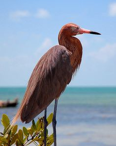 Reddish egret (Egretta rufescens), Central America, the Bahamas, the Caribbean, the Gulf Coast of the United States, and Mexico