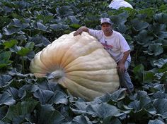 Grow big pumpkins