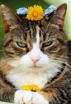 This cat looks like he wants to smack the crap out of whoever put that flower crown on his head.