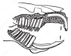 Výsledek obrázku pro anatomie morčete