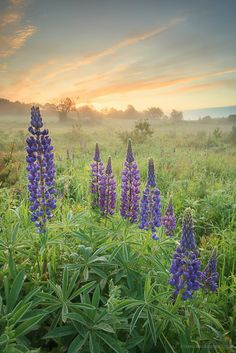 Lupins in Mayfield, Prince Edward Island - © Stephen DesRoches