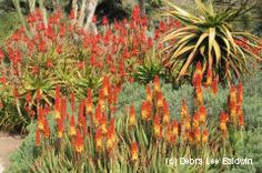 Aloe — Dramatic flower spikes, mid-winter through spring, are hot hues of orange or yellow. This photo shows aloes in bloom at the Huntington Botanical Gardens in January. Gel-filled, tapered and serrated leaves of many aloes form starfish-like rosettes. Species range from a few inches in diameter to tall trees. Aloe arborescens, a common garden plant throughout Southern California, is an excellent fire-retardant succulent for wildfire-prone areas. Frost-tender.