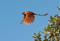 Foto alma-de-gato (Piaya cayana) por Sergio Costa   Wiki Aves - A Enciclopédia das Aves do Brasil