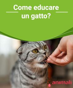 Come educare un gatto? #Educare il #gatto è un #procedimento che, conoscendo i giusti passi da intraprendere, si può rivelare più facile del previsto. #Addestramento