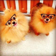 Pomeranian nerds