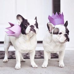 French Bulldogs in Crowns, well kinda ; )