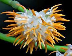 Bulbophyllum Orchidaceae | Bulbophyllum doratissimum - orchids - orchids seeds