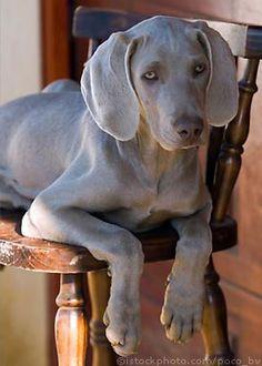 weimaraner: stunning, sweet, ball of energy.I love my puppy! Beautiful Dogs, Animals Beautiful, Cute Animals, I Love Dogs, Cute Dogs, Canis Lupus, Mundo Animal, Beagle, Weimaraner Puppies