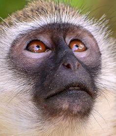 Vervet Monkey glances up Animal Magic, Animal 2, Monkey Puppet, Different Types Of Animals, Magnificent Beasts, Ape Monkey, Rubber Raincoats, Orangutans, Most Beautiful Animals