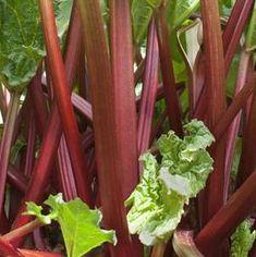 Nos astuces pour des pieds de rhubarbe vigoureux Livingstone, Stir Fry Vegan, Container Gardening, Gardening Tips, Growing Rhubarb, Rhubarb Plants, Perennial Vegetables, Rhubarb Recipes, Rhubarb Pie