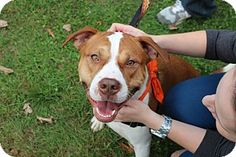 Bronx, NY - NEW BEGINNING ANIMAL RESCUE, NO KILL, Pit Bull Terrier Mix. Meet BERNIE, a dog for adoption. http://www.adoptapet.com/pet/12600677-bronx-new-york-pit-bull-terrier-mix