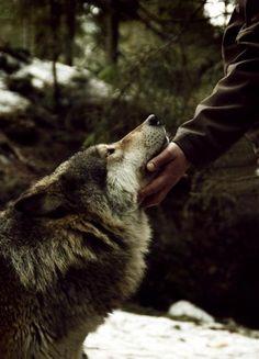 Wolves are not dangerous.