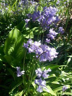 Bos-hyacinten in het voortuintje.