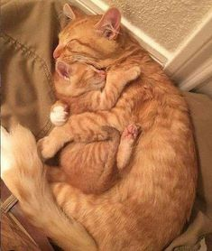 Marmalade cats for the win! – Janet Carr @ - Marmalade cats for the win! – Janet Carr @ Marmalade cats for the win! Cute Baby Cats, Cute Little Animals, Cute Cats And Kittens, Cute Funny Animals, Kittens Cutest, I Love Cats, Funny Cats, Funny Horses, Ragdoll Kittens