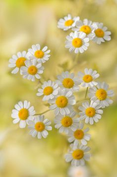 Daisies by Hoang Duong - 500px