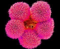 Geranium pollen grains