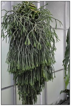 Lycopodium via growing with plants...wow.....if I didnt know any better, I would say its one of my rhipsalis.....want one now.