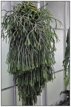 Lycopodium via growing with plants