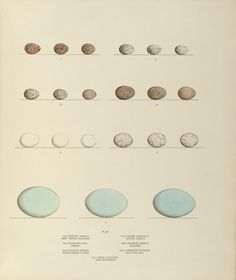v. 2 - Illustrations of the nests and eggs of birds of Ohio : - Biodiversity Heritage Library